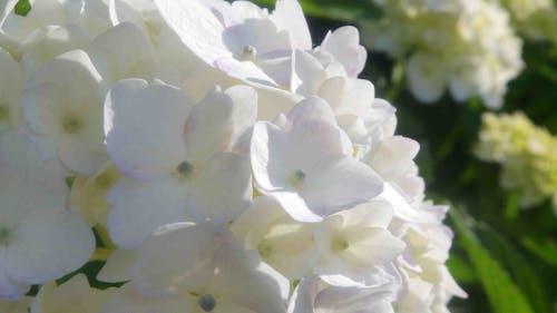beyaz, ortanca içeren Ücretsiz stok fotoğraf