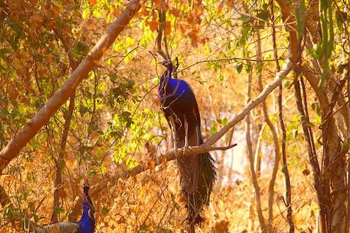 公園, 動物, 孔雀, 棲息 的 免費圖庫相片