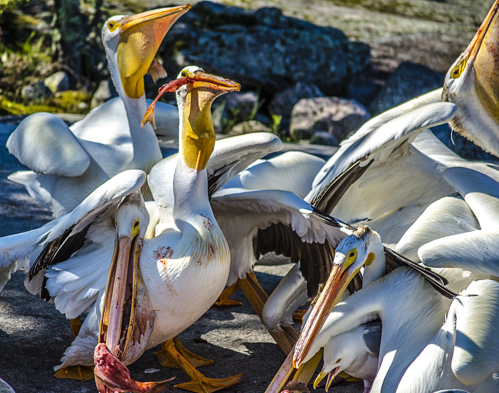 Free stock photo of fish, lake of the woods, nature, pelicans