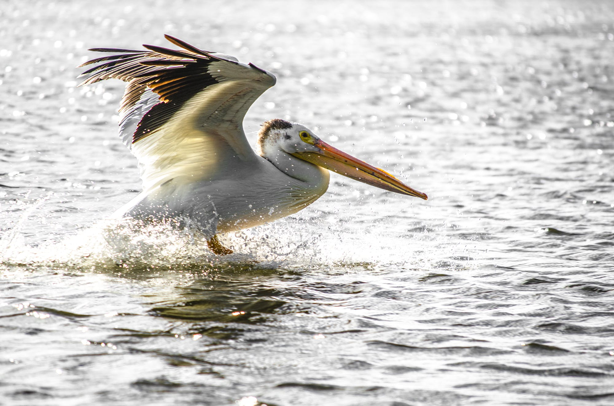 Free stock photo of black and white, color, nature, pelican