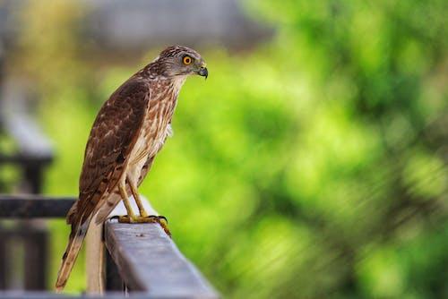 Photos gratuites de animal, aviaire, balustrade en bois, faucon