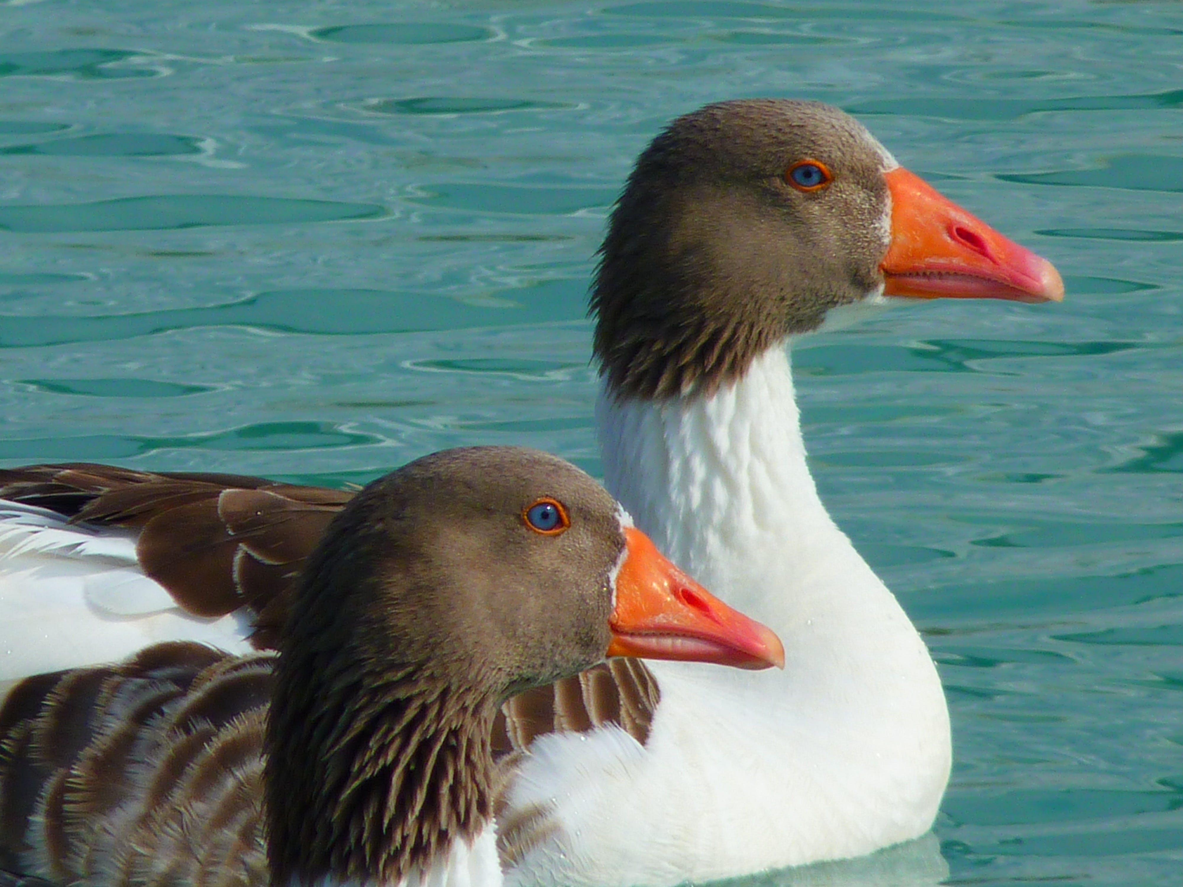 Free stock photo of sea, birds, swimming, ducks