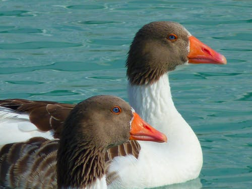 Close-up Photography of Two White-and-brown Ducks on Body of Water