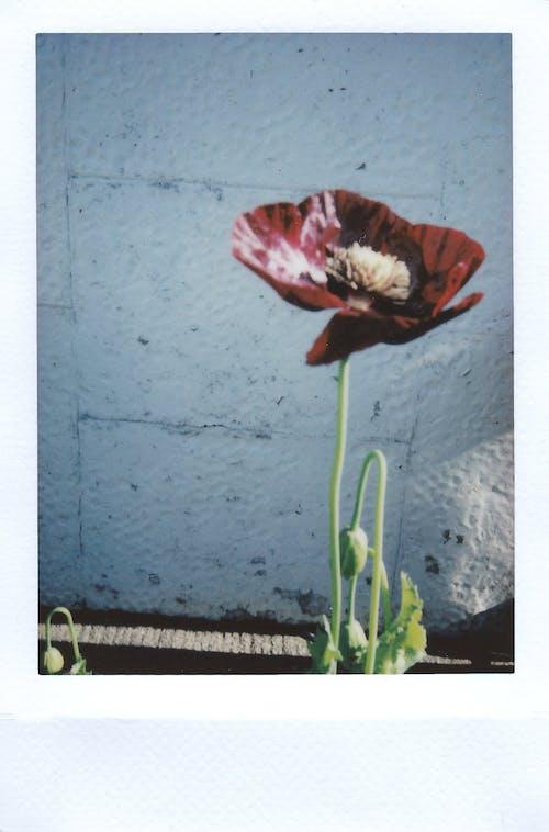 Gratis lagerfoto af blomst, flora, springe ud, Valmue