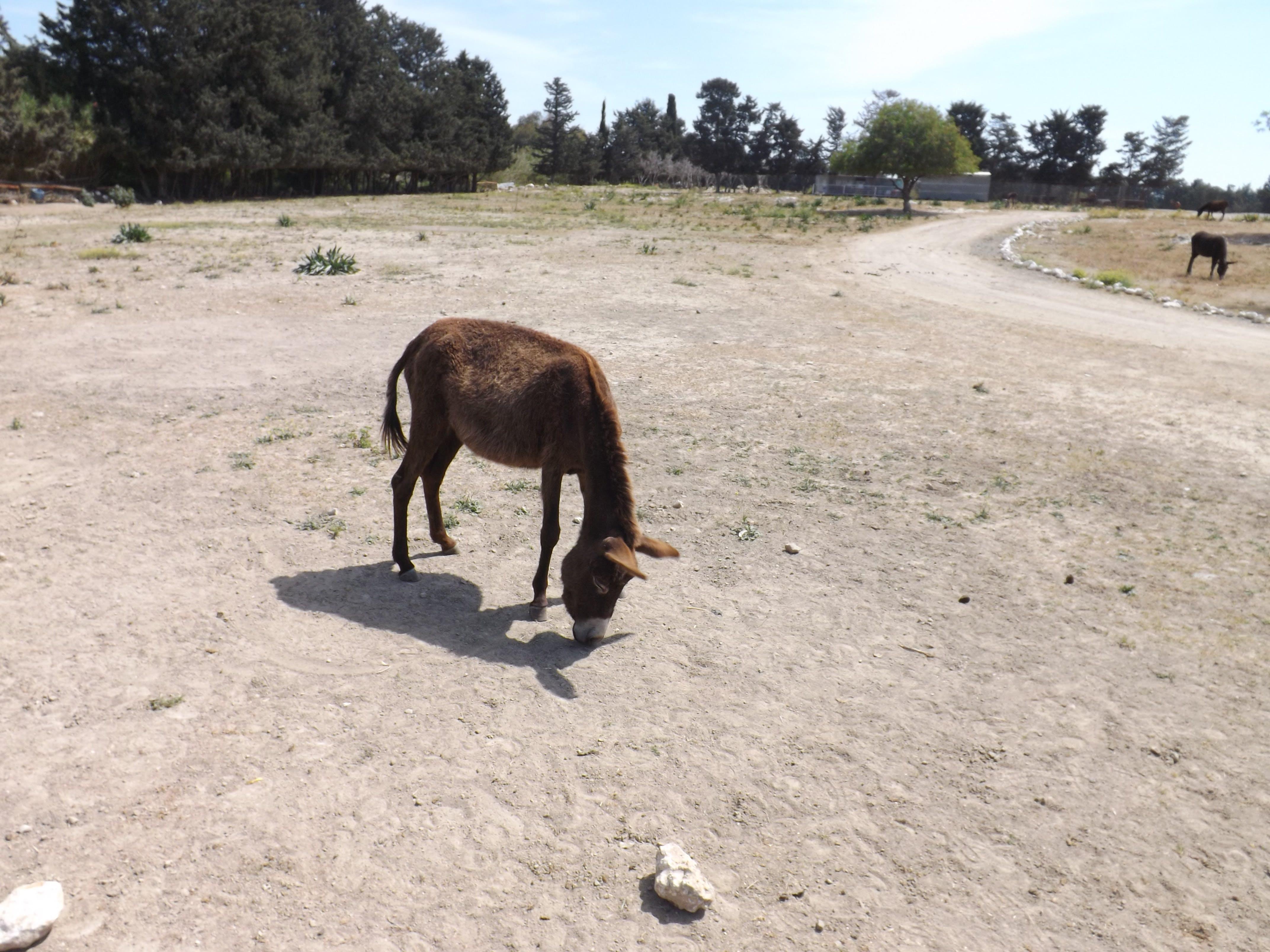 Free stock photo of donkey