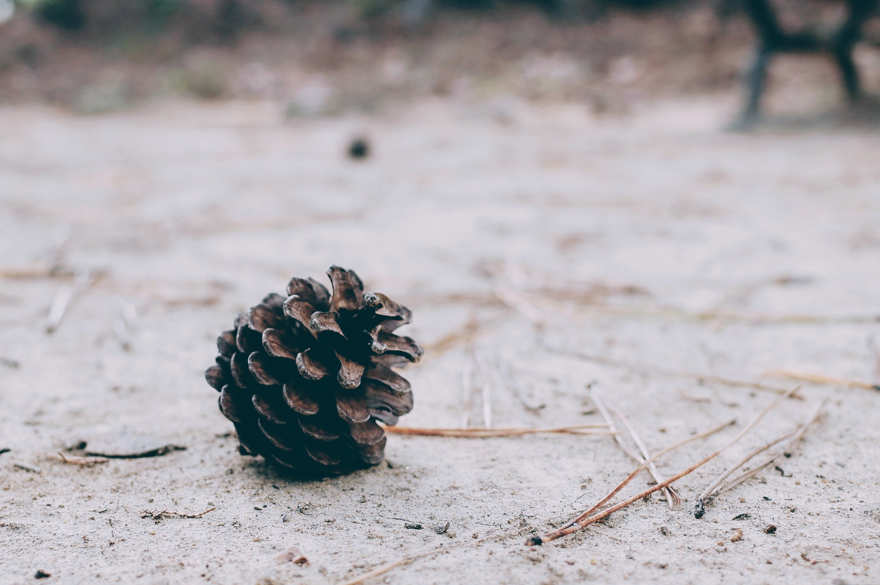 Pine Cone on Ground