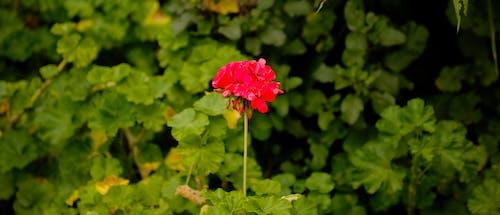 Foto stok gratis bunga merah, bunga yang indah, dasar, keindahan di alam