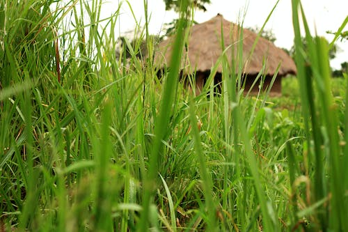 Free stock photo of africa, family house, grass thatched, green grass