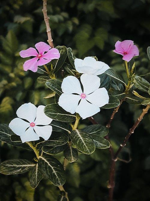 吊鐘花, 美麗的花, 自然攝影, 花朵桌面 的 免費圖庫相片