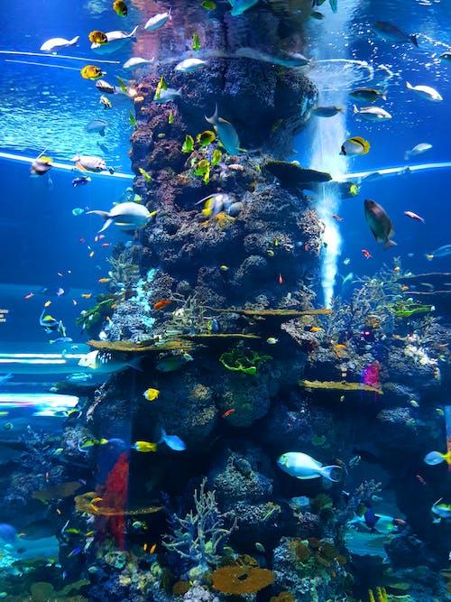 Gratis lagerfoto af akvarium, blågrøn, dyb, dykning