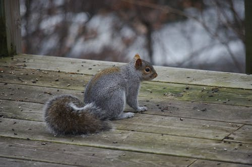 Brown Squirrel on Boat Dock
