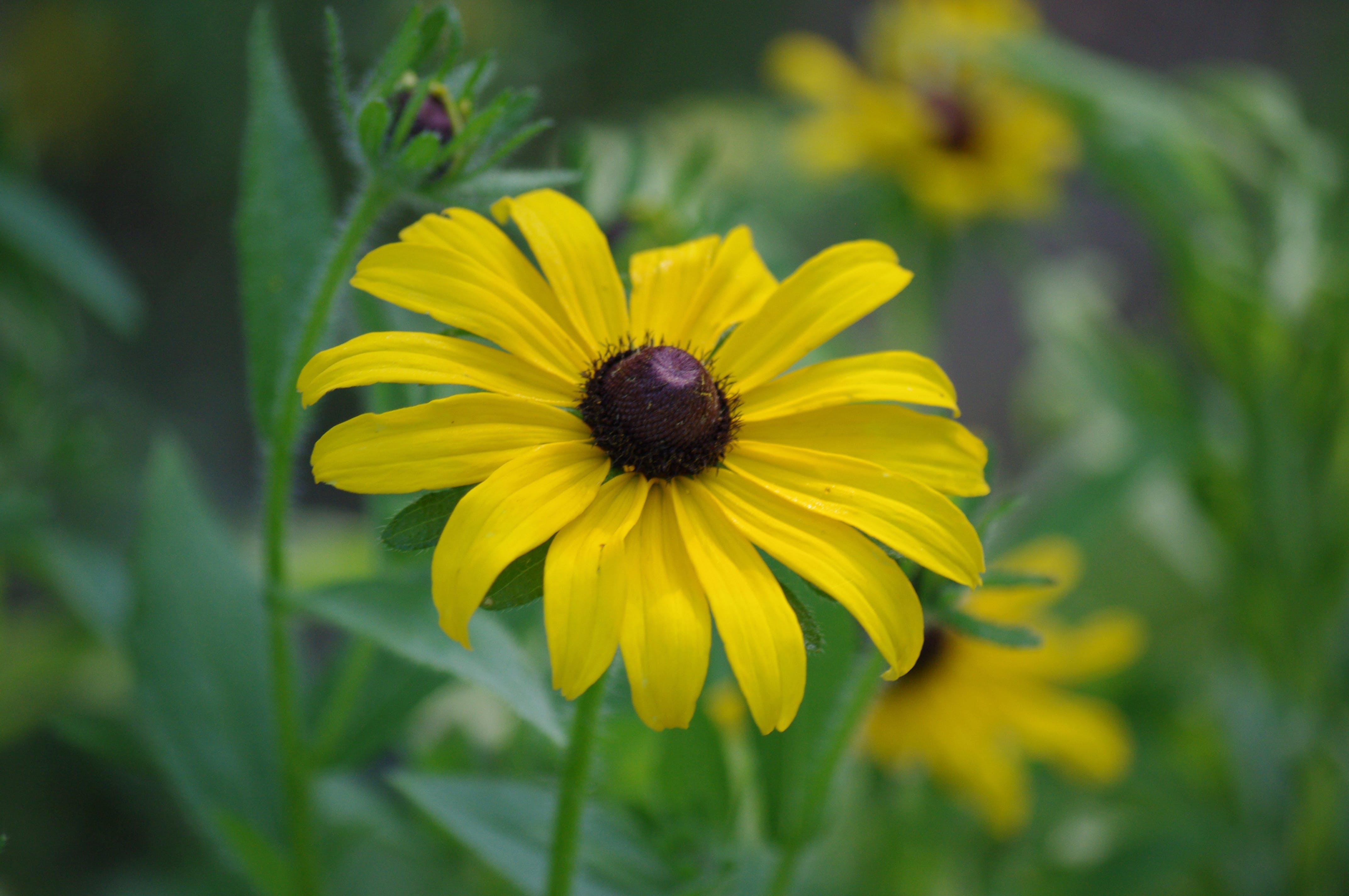 Free stock photo of Black Eyed Susan, flower, nature