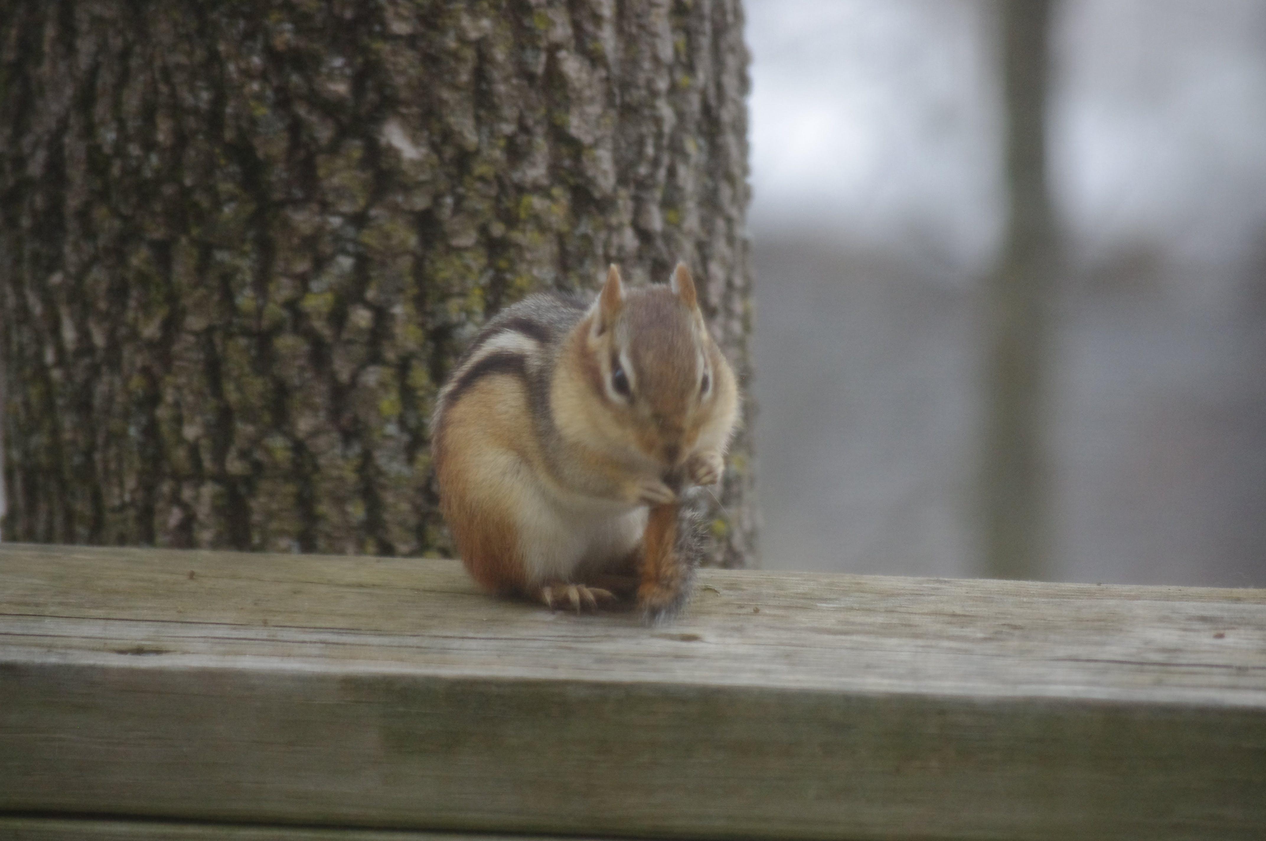 Free stock photo of animal, chipmunk, nature