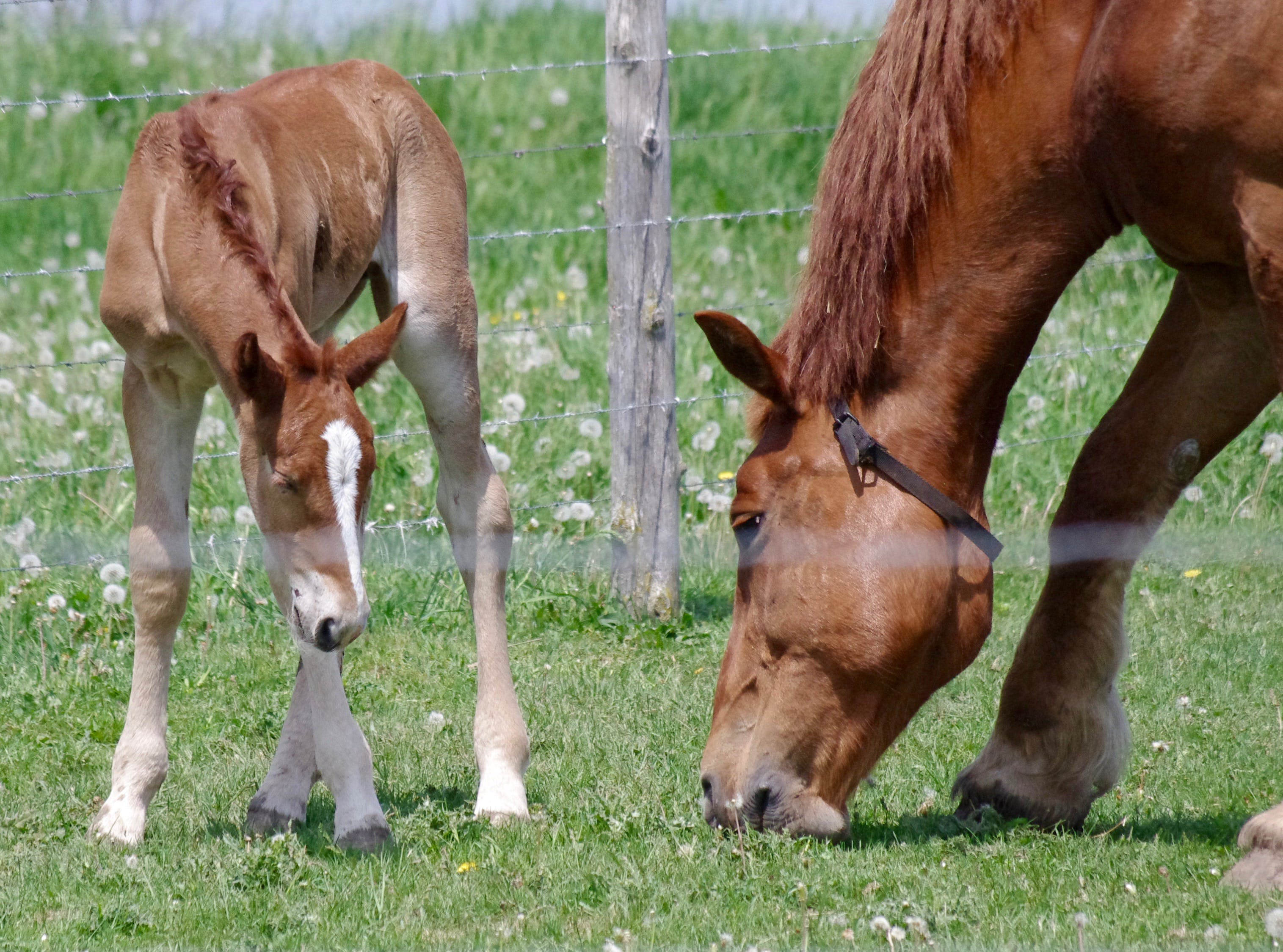 Free stock photo of animals, barb wires, close-up, colt