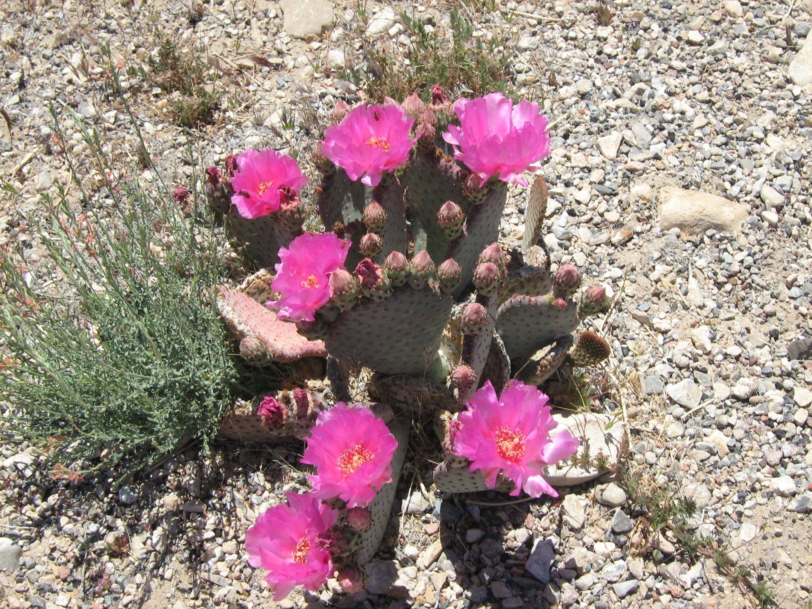 Free stock photo of Desert Cactus, flower, nature