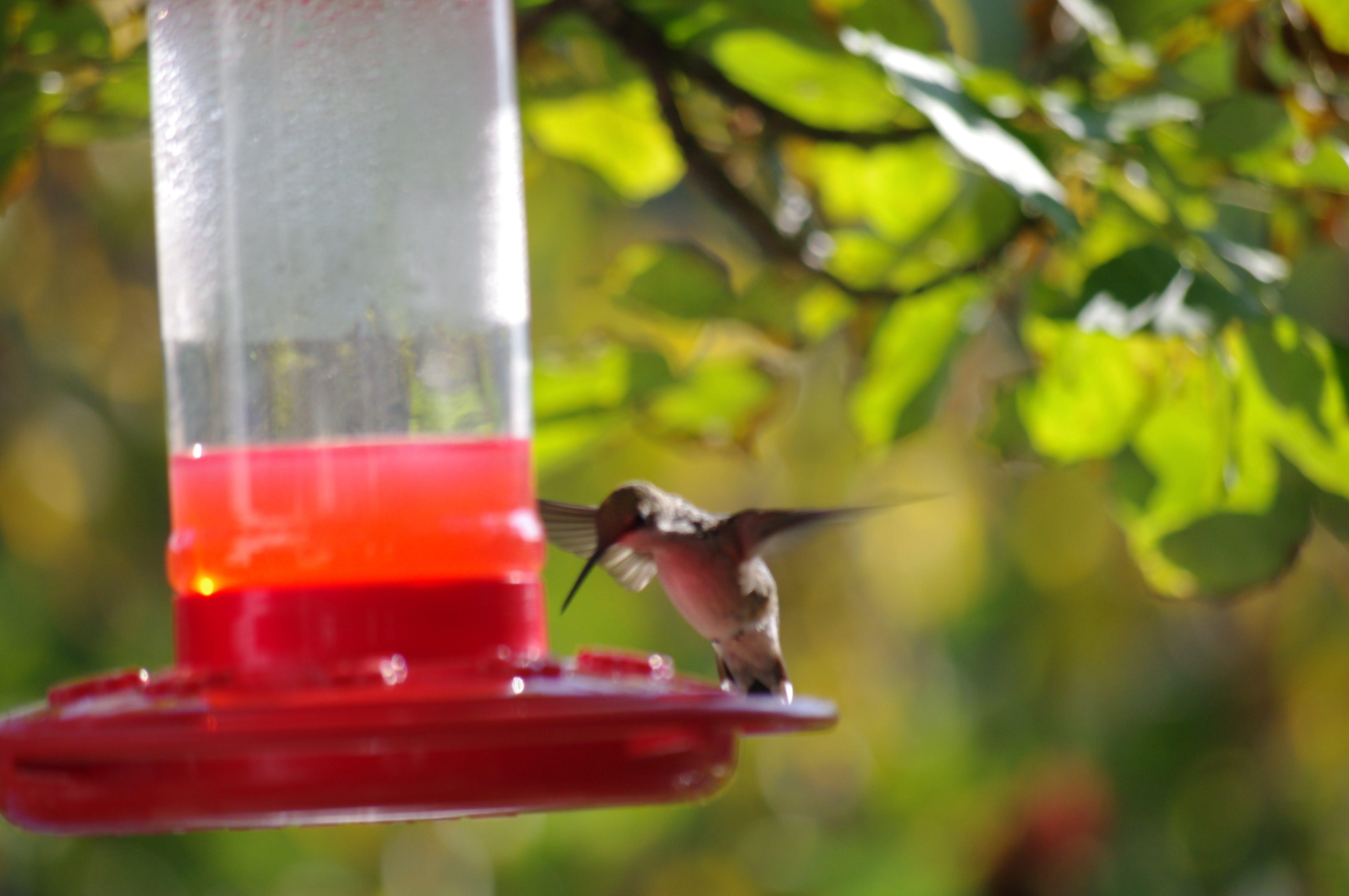 Free stock photo of bird, hummingbird, nature