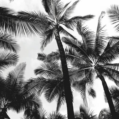 Grayscale Photo of Palm Trees