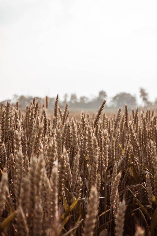 小麥, 田, 農作物, 農地 的 免費圖庫相片