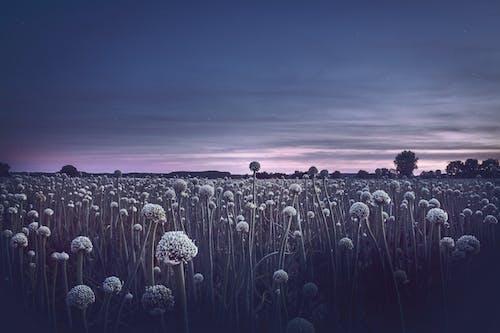 Foto stok gratis bidang, bunga-bunga, flora, kehidupan tenang