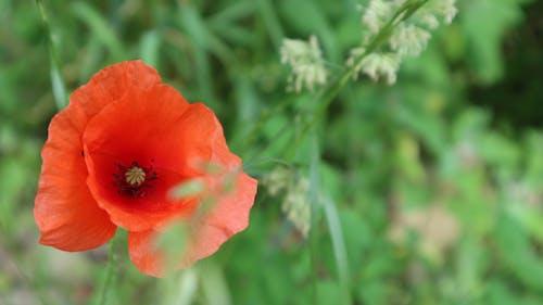 夏天, 维也纳, 罌粟, 罌粟花 的 免费素材照片