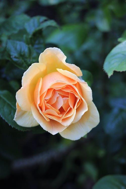 flower, rose, victoria bc