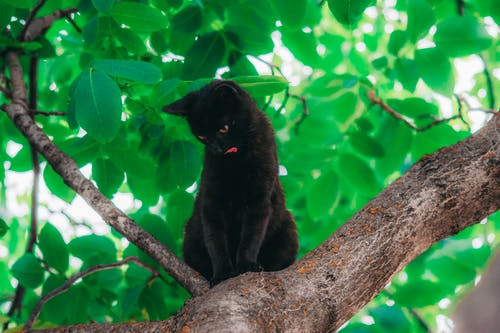 Bombay Cat on Tree Branch