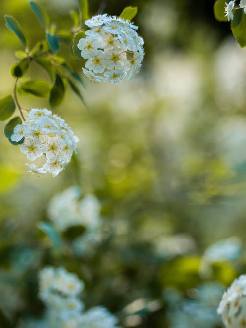Free stock photo of bloom, blossoms, flowers, green