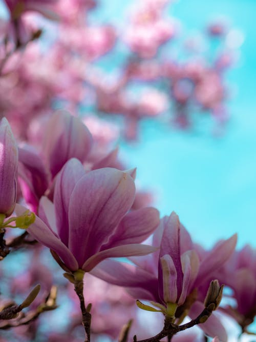 Free stock photo of flower, magnolia, sky, spring