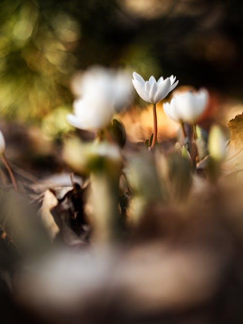 Fotobanka sbezplatnými fotkami na tému flóra, jemný, kvet, kvitnutie