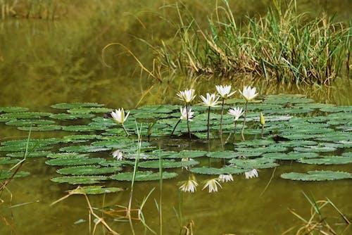 Free stock photo of flowers, india, lotus