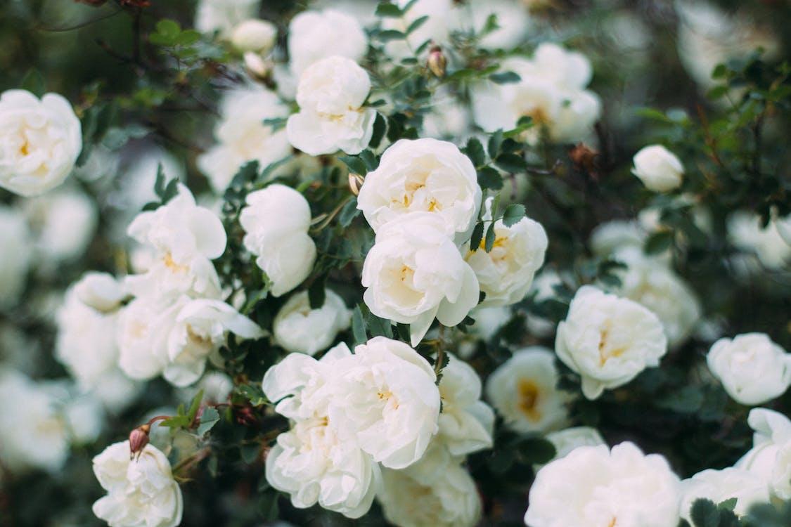 bahçe gülleri, bitki örtüsü, buketler