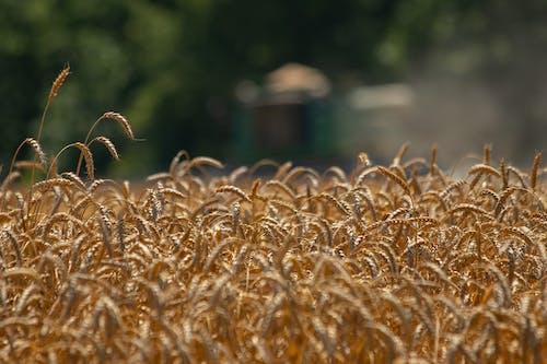 Základová fotografie zdarma na téma agbiopix, nc zemědělský úřad, pšenice, sklizeň