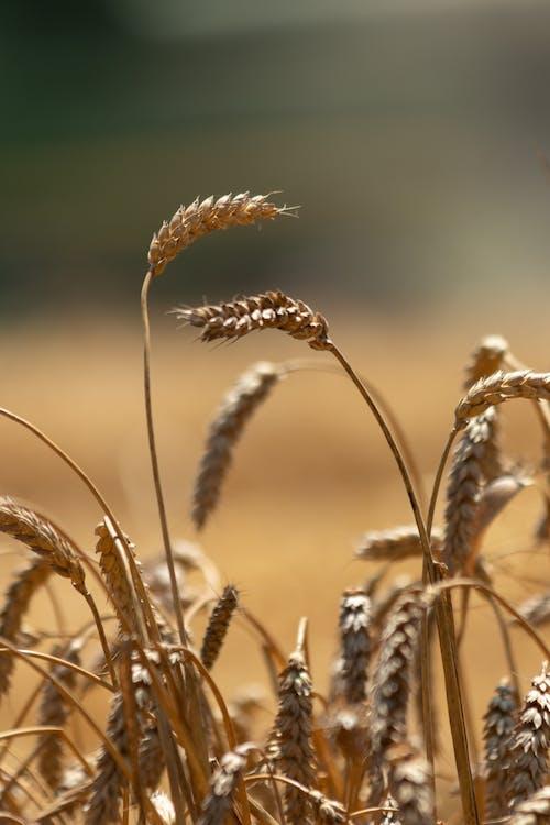 Základová fotografie zdarma na téma agbiopix, pšeničné zrno, zemědělství, zrno