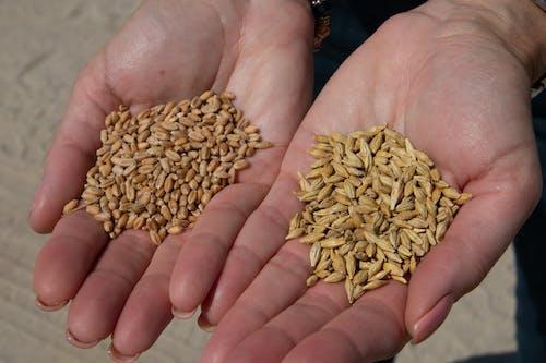 Základová fotografie zdarma na téma agbiopix, ječmen, pšenice, zemědělství