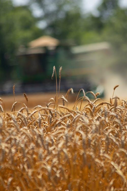 Základová fotografie zdarma na téma agbiopix, pšenice, sklizeň, zemědělství