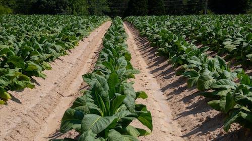 Základová fotografie zdarma na téma agbiopix, tabák, vytvrzené kouřem, zemědělství