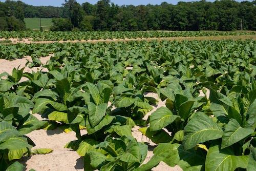 Základová fotografie zdarma na téma agbiopix, řádek plodiny, tabák, zemědělství