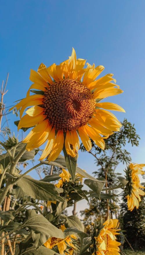 Fotos de stock gratuitas de amarillo, campo, campo de girasoles, flor amarilla