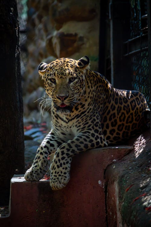 Leopard Resting on Concrete Stairs