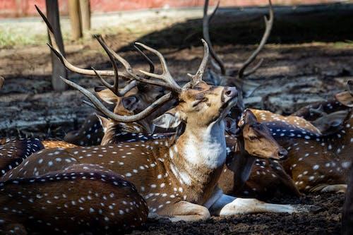 Kostnadsfri bild av djur, djurporträtt, gizelle, hjort