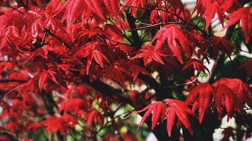 Ilmainen kuvapankkikuva tunnisteilla japanilainen vaahtera, kasvit, lehdet, luonto