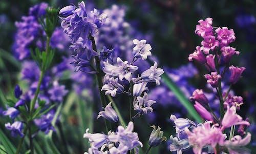 Ilmainen kuvapankkikuva tunnisteilla bluebells, kasvit, kukat, kukkaniitty