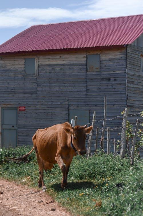 Photos gratuites de abri de jardin, agriculture, animal, animal de ferme
