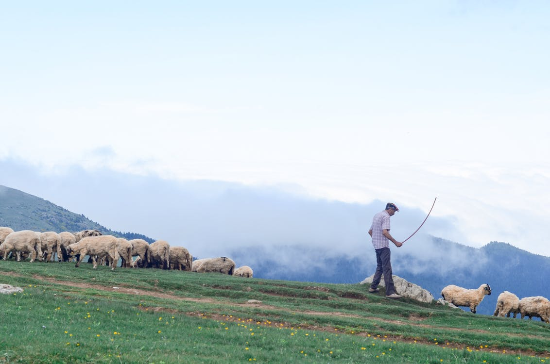 Man Walking on Grass Field With Sheeps