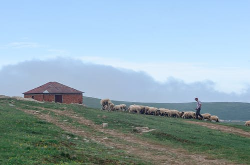 Photo of Shepherd Walking His Flock of Sheep in Grass Field Next to a Brick House