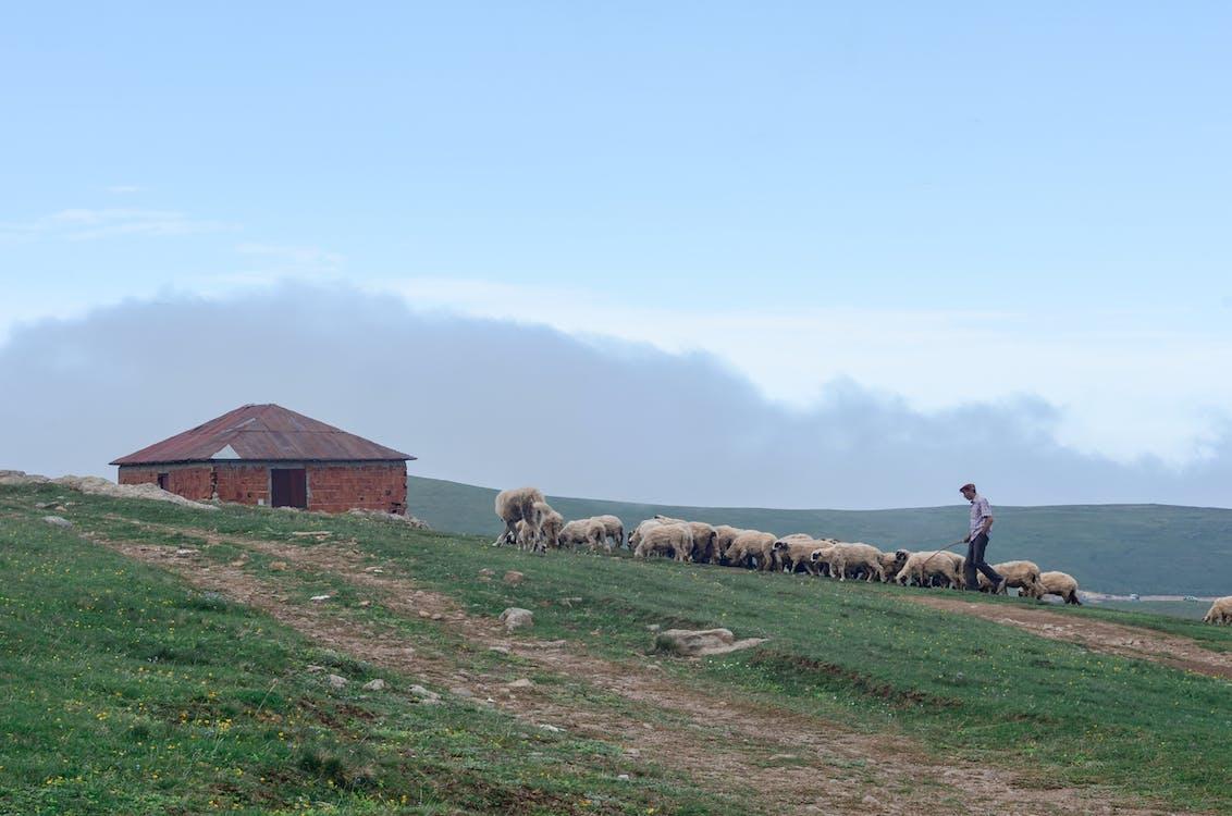 Foto De Pastor Caminhando Com Seu Rebanho De Ovelhas Em Um Campo De Grama Ao Lado De Uma Casa De Tijolos
