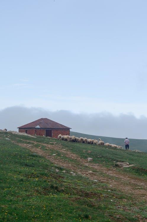 animals, animals de granja, bandada