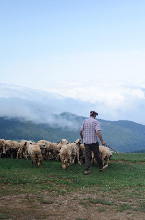 Vista Posteriore Foto Di Pastore Che Cammina Con Il Suo Gregge Di Pecore Nel Campo In Erba