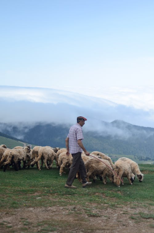 Side View Photo of Shepherd Walking His Flock of Sheep in Grass Field
