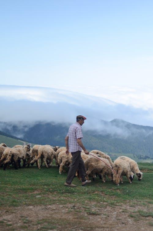 Ảnh lưu trữ miễn phí về chăn cừu, chăn gia súc, chăn nuôi, chăn thả